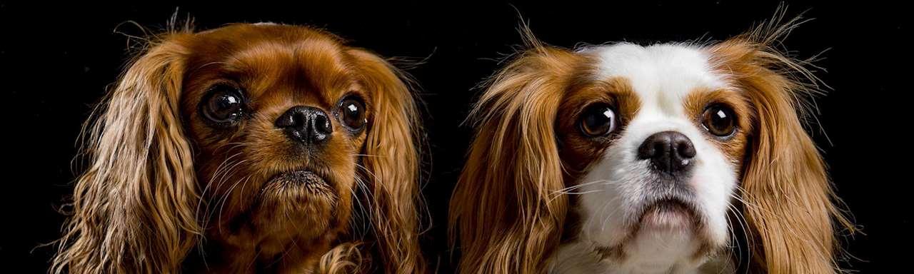 Två hundar